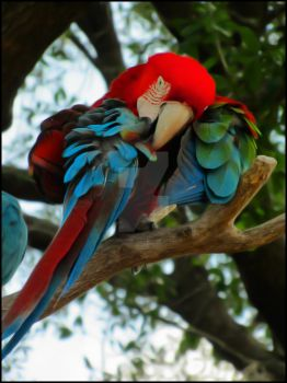 Macaw 001 by havocPigeons