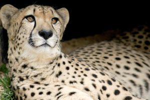 Cheetah 14 by Art-Photo
