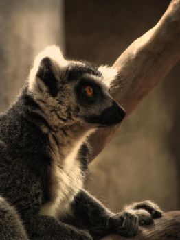Ringtail Lemur by QuinapalusTheFool