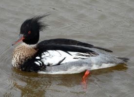 Red-Breasted Merganser by April-Snowflake