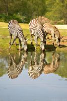 Zebras by The-Other-Half-Of-Me