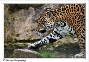 Big cat 2 - Jaguar by CharmingPhotography
