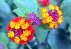 Bright Lantana by Aluthien