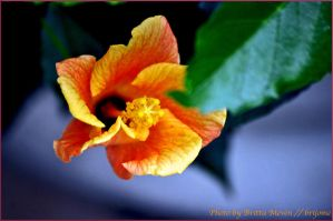 hibiscus blossom by brijome