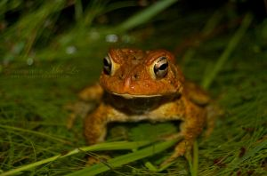 Toad Stare by MiaLeePhotography