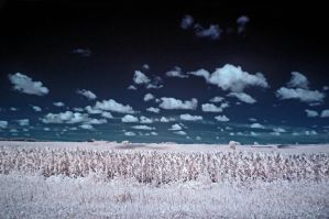 infrared cornfield by foodshelf