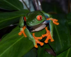 Red Eyed Treefrog by tuftedpuffin