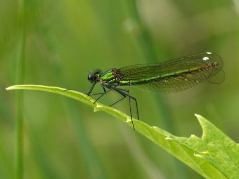 June 13 Banded Demoiselle 4 by Taliesin-Neonblack