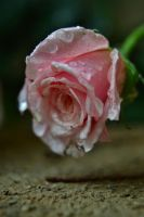 Concrete rose by mossyfrog