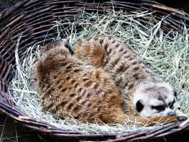 Sleeping Meerkats by MallcoreMassacre