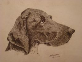 German Shorthaired Pointer by maaart90