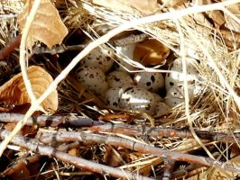 Quail Nest one by CharlesNissen