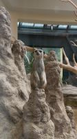 A day at 'Schoenbrunn Zoo' - Meerkat 1 by Xris777