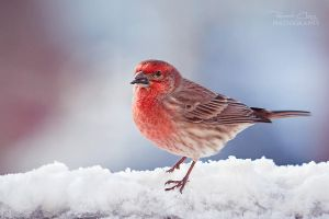 .:Snowy Finch:. by RHCheng