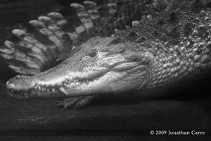 Cuban crocodile 2 by InsaneGelfling