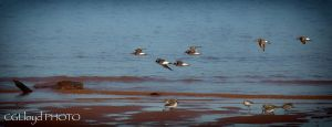 SandPipers by GreyVolk