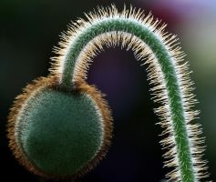 Prickly by andras120