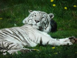 White tiger 2 by JanuaryGuest