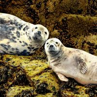 Staring seals... by Coigach