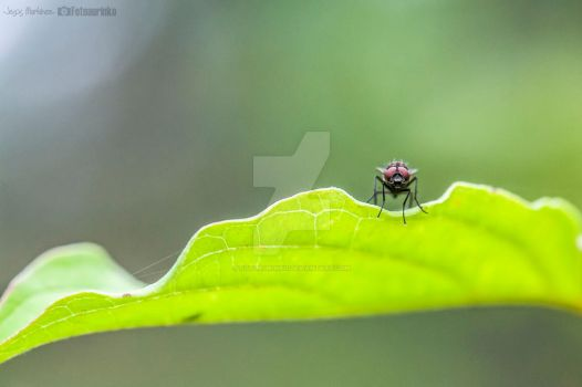 The fly by Fotoaurinko