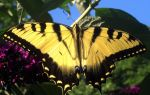 yellow butterfly by triippyx