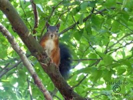 Squirrel 113 by Cundrie-la-Surziere
