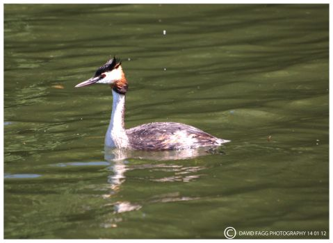 Crested Grebe by snappy-dave