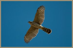 Coopers Hawk by AirshowDave