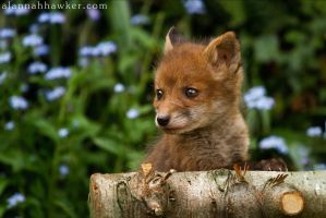 Fox Cub 04 by Alannah-Hawker
