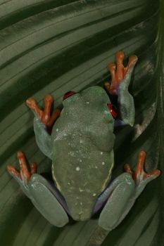 red-eyed frog on a leaf by bugalirious-STOCK