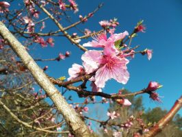 Peach Blossom in early spring by HimeGabi