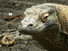 Komodo Dragon by VinceArt