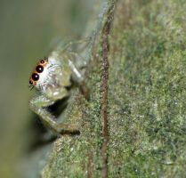 Salticidae....tiny...peeking by duggiehoo