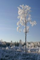 Frosty birch by theGuffa