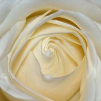 Heart of a white rose by TinyWild