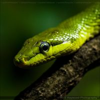 Eastern green mamba 1199f by mym8rick