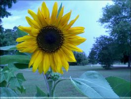 Sunflower Blue by masonmouse