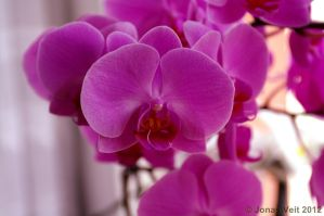 Orchid XVIII by friedapi