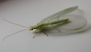 Lacewing by Helens-Serendipity