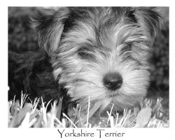 Yorkshire Pup by jonsage
