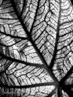 caladium leaf without color by Achello