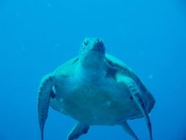 Loggerhead sea turtle: Crush? by Zachg56