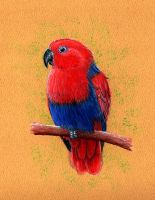 Eclectus Parrot (Eclectus roratus) by gouldian-finch