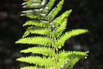 Sunlit Fern by loobyloukitty