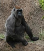 Female Gorilla by meeks105