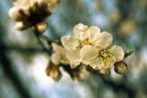 Apricot flower 3, Ukraine by daily-telegraph