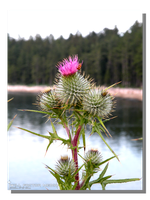 Sandpoint Thistle by WillFactorMedia