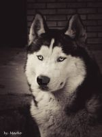 My husky dog, Bak. by mare037