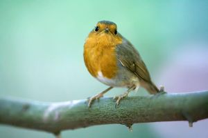 Redbreast in the Underwoods by ChristophGerlach