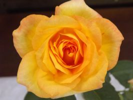 Yellow Rose by AppleBlossomGirl